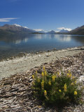 Summer Flowers on the Edge of Lake Wakatipu Near Queenstown  Otago  South Island  New Zealand