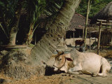 Ox in Village of Bonhoogly  Parganas  West Bengal  India