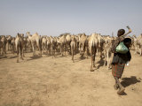 Nomadic Camel Herders Lead their Herd to a Watering Hole in Rural Somaliland  Northern Somalia
