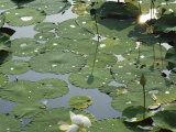 Water Liliy at Yuanmingyuan  Beijing  China