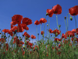 Low Angle View Close-Up of Red Poppies in Flower in a Field in Cambridgeshire  England  UK