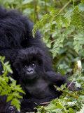 Baby Mountain Gorilla Eating Leaves  Rwanda  Africa