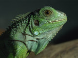 Serpentarium Green or Common Iguana  Skye  Scotland  United Kingdom  Europe