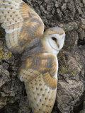 Barn Owl  Captive  Cumbria  England  United Kingdom  Europe