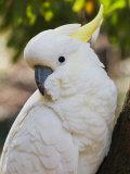 Sulphur-Crested Cockatoo  Dandenong Ranges  Victoria  Australia  Pacific