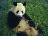 Giant Panda  Sichuan Province  China