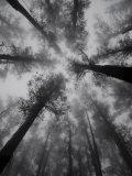 Mountain Ash Trees  Tallest Flowering Plants in the World  Dandenong Ranges  Victoria  Australia