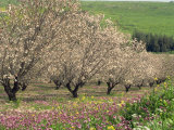 Winter Flowers and Almond Trees in Blossom in Lower Galilee  Israel  Middle East