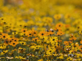 Namaqualand Daisy  Western Cape  South Africa  Africa