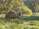 Emu  Flinders Ranges National Park  South Australia  Australia  Pacific