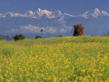 Landscape of Yellow Flowers of Mustard Crop the Himalayas in the Background  Kathmandu  Nepal