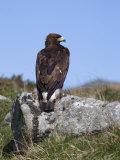 Golden Eagle  on Moorland  Captive  United Kingdom  Europe