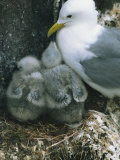 Kittiwake with Young on Nest  Farne Islands  Northumberland  England  United Kingdom  Europe