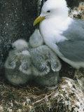 Kittiwake with Young on Nest  Farne Islands  Northumberland  England  United Kingdom  Europe