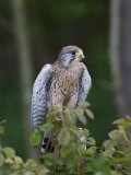 Kestrel  Captive  United Kingdom  Europe