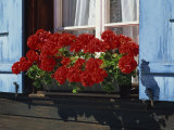 Red Geraniums and Blue Shutters  Bort  Grindelwald  Bern  Switzerland  Europe