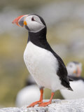 Puffin  Farne Islands  Northumberland  England  United Kingdom  Europe