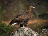 Portrait of a Golden Eagle  Highlands  Scotland  United Kingdom  Europe