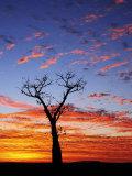 Boab Tree at Sunrise  Kimberley  Western Australia  Australia  Pacific