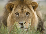 Lion  Kgalagadi Transfrontier Park  Northern Cape  South Africa  Africa
