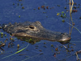 American Alligator  South Florida  United States of America  North America