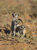 Young Meerkat  Kgalagadi Transfrontier Park  Northern Cape  South Africa