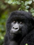 Mountain Gorilla  Rwanda  Africa