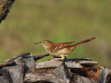 Brown Thrasher  South Florida  United States of America  North America