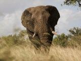 African Elephant Bull  Kruger National Park  Mpumalanga  South Africa  Africa