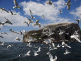 Herring Gulls  Following Fishing Boat with Bass Rock Behind  Firth of Forth  Scotland  UK