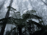 Mountain Ash Trees and Tree Ferns in Fog  Dandenong Ranges  Victoria  Australia