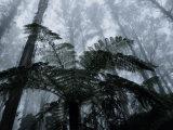 Mountain Ash Trees and Tree Ferns in Fog  Dandenong Ranges  Victoria  Australia