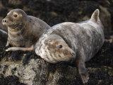 Grey Seals  Farne Islands  Seahouses  Northumberland  England  United Kingdom
