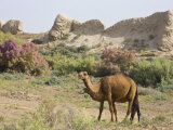 Camels  Ancient Merv  Mary  UNESCO World Heritage Site  Turkmenistan  Central Asia