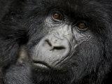 Mountain Gorilla  Kongo  Rwanda  Africa