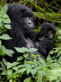 Mountain Gorilla with Her Young Baby  Rwanda  Africa