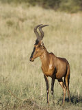 Red Hartebeest  Kgalagadi Transfrontier Park  Northern Cape  South Africa