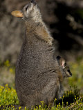Tammar Wallaby  Kangaroo Island  South Australia  Australia  Pacific