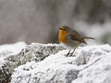 Robin on Frosty Wall in Winter  Northumberland  England  United Kingdom