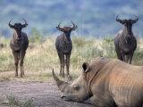 White Rhino  Hluhluwe Umfolozi Park  Kwazulu Natal  South Africa  Africa