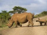 White Rhino and Calf  Ithala Game Reserve  Kwazulu Natal  South Africa
