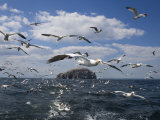 Gannets in Flight  Following Fishing Boat Off Bass Rock  Firth of Forth  Scotland