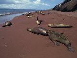 Sea Lions  Rabida Island  Galapagos Islands  UNESCO World Heritage Site  Ecuador  South America