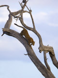 Leopard in Dead Tree  Kruger National Park  Mpumalanga  South Africa  Africa