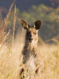 Eastern Grey Kangaroo  Geehi  Kosciuszko National Park  New South Wales  Australia  Pacific