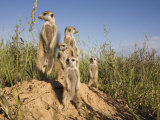 Group of Meerkats  Kalahari Meerkat Project  Van Zylsrus  Northern Cape  South Africa