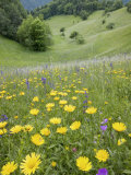 Wildflowers in Traditionally Managed Hay Meadow  Ljubljanska Kotlina  Slovenia  Europe