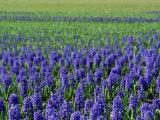 Field of Blue Hyacinths at Lisse in the Netherlands  Europe