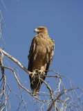 Tawny Eagle  Kgalagadi Transfrontier Park  Northern Cape  South Africa  Africa