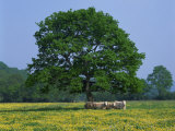 Agricultural Landscape of Cows Beneath an Oak Tree in a Field of Buttercups in England  UK